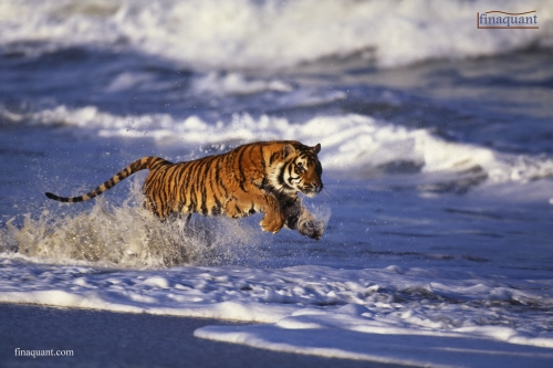 how fast can a bengal tiger run